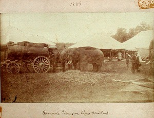 Elephants eating hay next to old time vehicle with white tents in the background