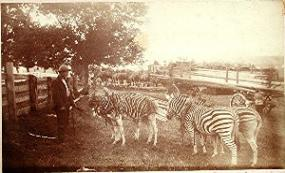 Man looking at zebras in a small pen with a single tree in a background
